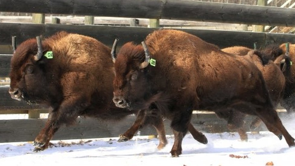 Wild bison destined for Banff National Park (06 February 2017)
