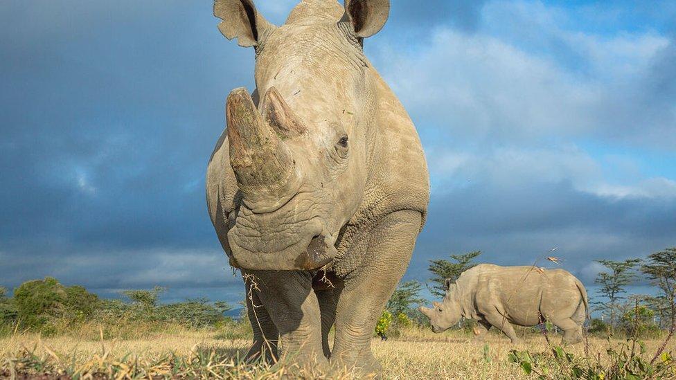 El último rinoceronte blanco del norte macho murió el año pasado en Sudán.