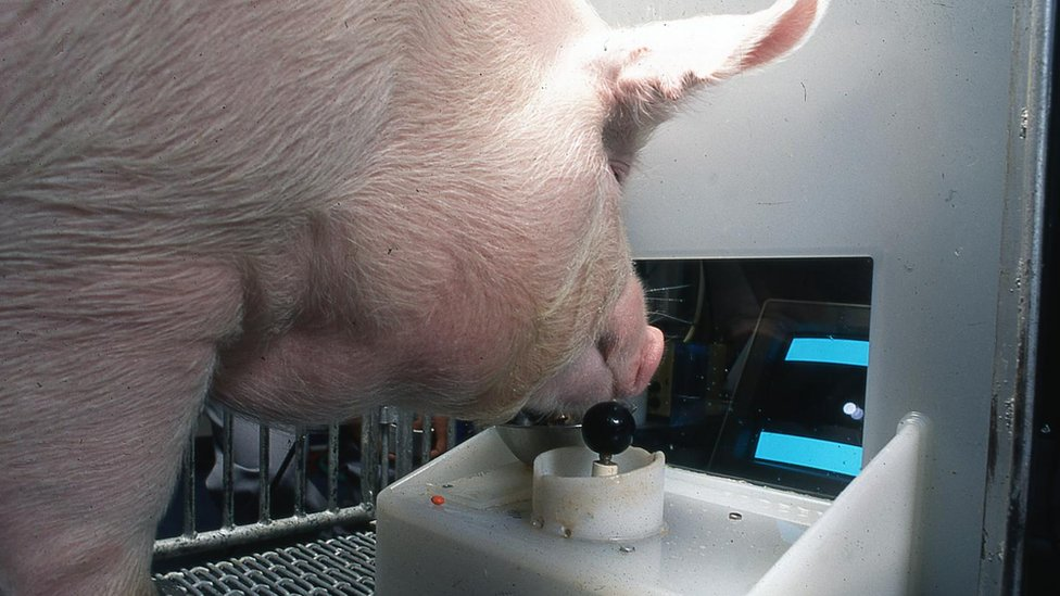 A pig uses its snout to play a simple video game on a tiny arcade-cabinet-style setup at ground level