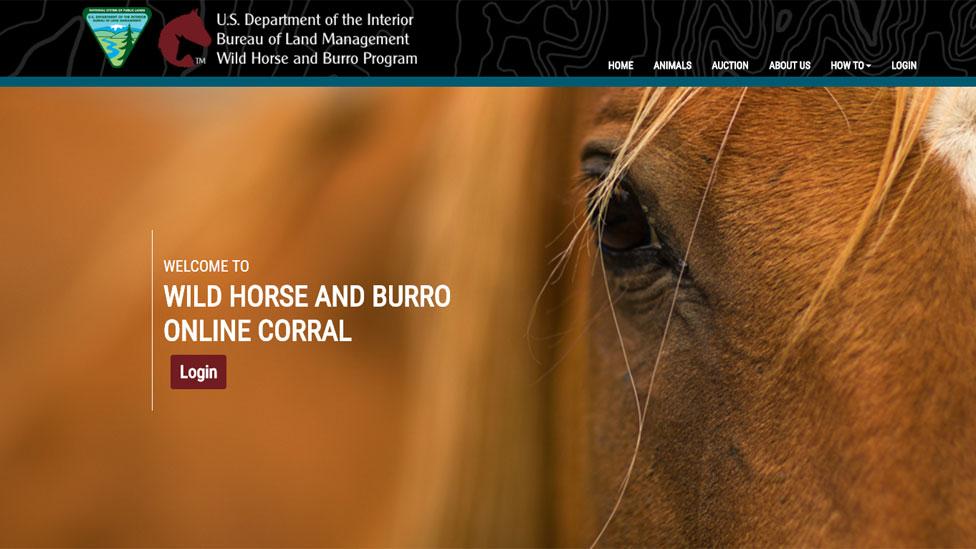 Sitio de BLM para la adopcin de caballos salvajes con una toma de frente de uno de ellos