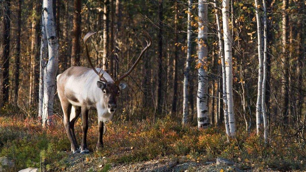 El reno salvaje de bosque ha encontrado un santuario en la parte del cinturón verde ubicada hacia el norte de Europa.