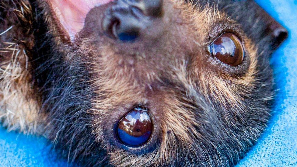 mlada leteća lisica nakon spasavanja