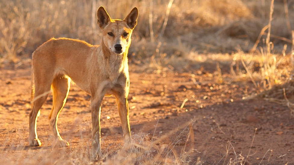 Dingoes attack young boy on Australia's Fraser Island