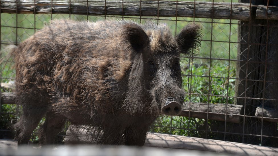 File image of wild boar in Italy