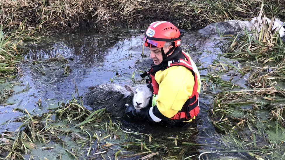 Seven sheep rescued from river near M1 in Watford die