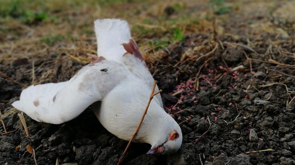 Ptica otrovana najverovatnije karbofuranom