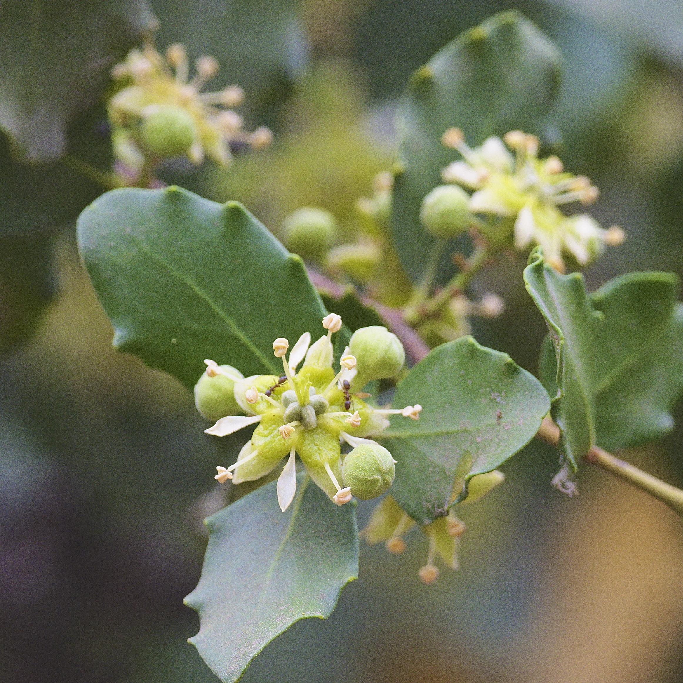 Flor y hojas del quillay chileno