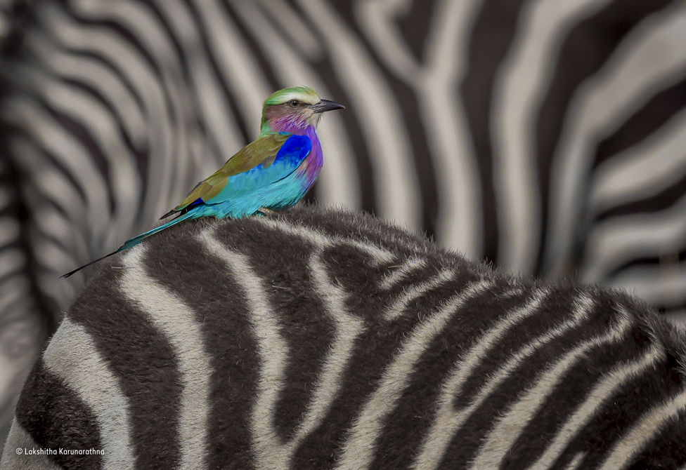 A lilac-breasted roller on the back of a zebra.