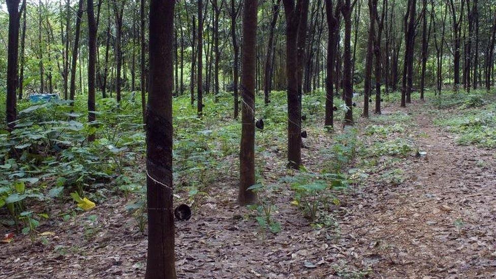 árboles de caucho en India.