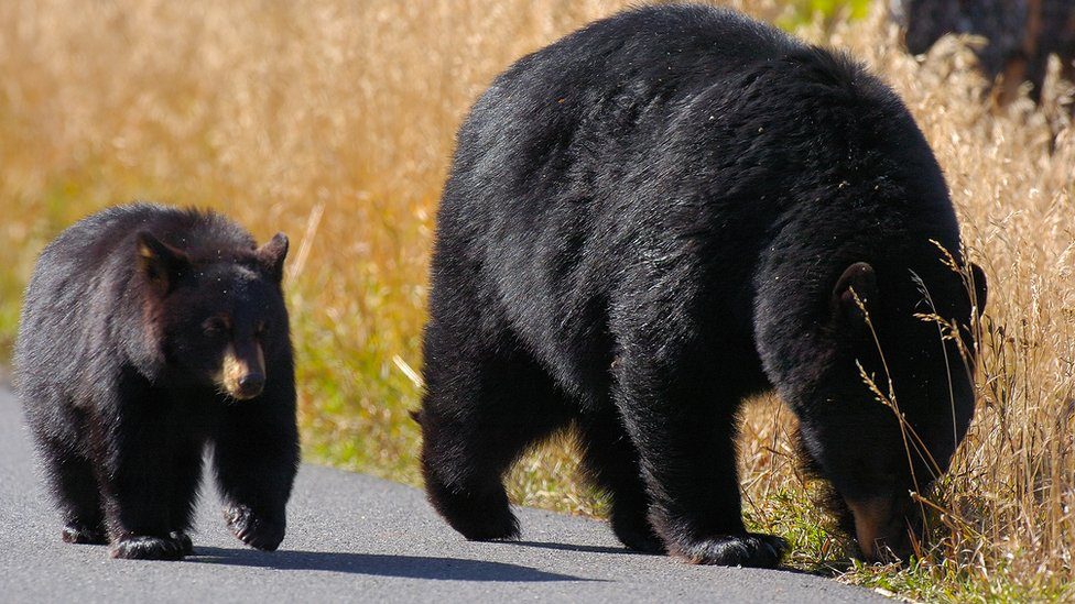 Medvedi u Sjedinjenim Državama