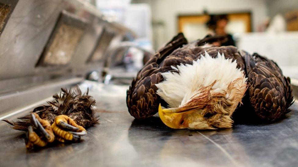 Aguila muerta
