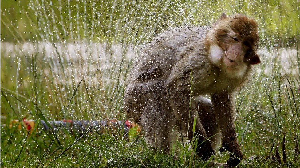 Barbary macaques at Blair Drummond Safari Park near Stirling enjoy a cool shower