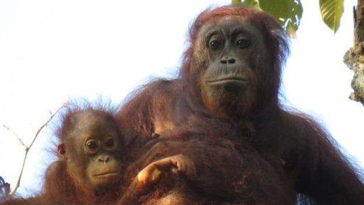 Orangutan hembra con su bebé