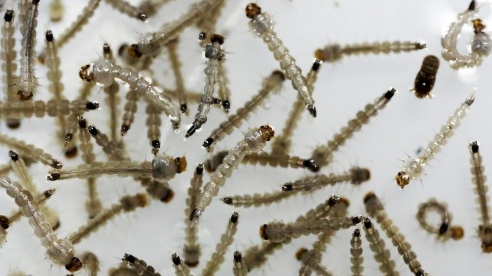 The larvae of Aedes aegypti mosquito are seen inside Oxitec laboratory in Campinas, Brazil (02 February 2016)
