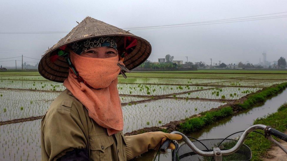 Cultivadora de arroz en el norte de Vietnam