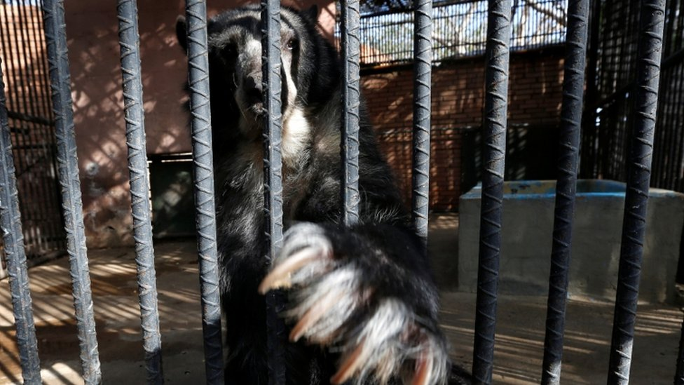 An Andean bear stretch its claw inside a cage at the Paraguana zoo in Punto Fijo, Venezuela July 22, 2016