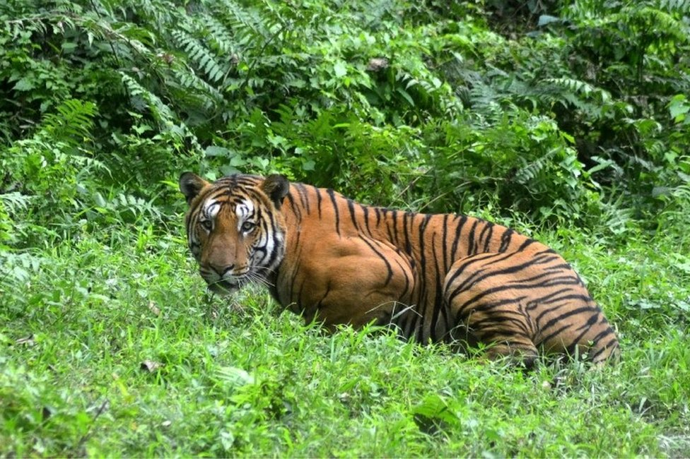 In this file photo taken on December 21, 2014 an Indian Bengal tiger looks on in a forest clearing in Kaziranga National Park, some 280km east of Guwahati in northeast India.