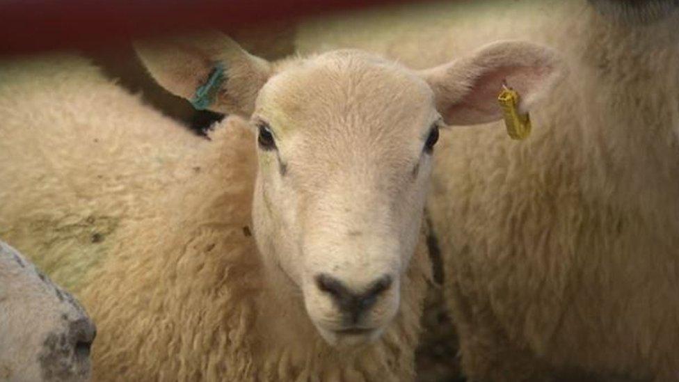 A farm lamb