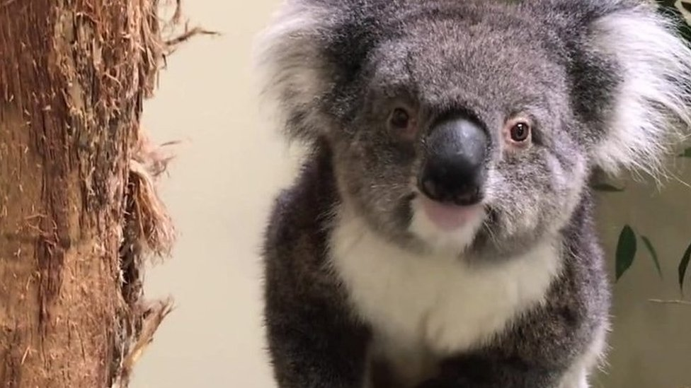 Europe's new koalas arrive at Longleat