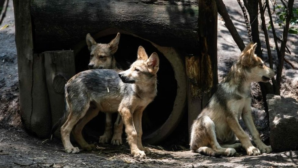 Three-month-old Mexican wolves (Canis lupus baileyi) are seen at the Coyotes Zoo in Mexico City on July 10, 2018.