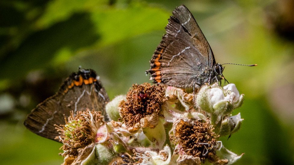 Two white-letter hairstreak butterflies. The insects have white streaks going through their black wings, hence the name.