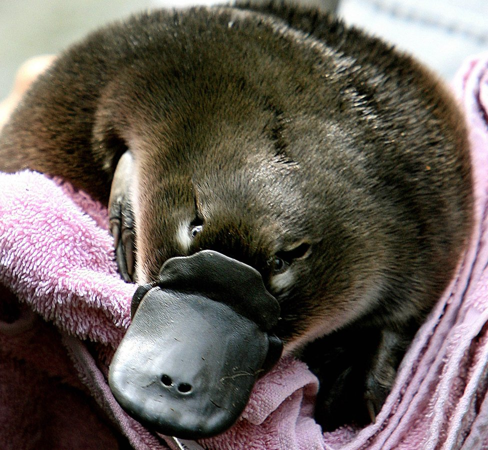 A baby platypus being held in a towel before being transferred back to it's burrow after emerging for the first time on 16 February 2006 at Sydney's Taronga Zoo.