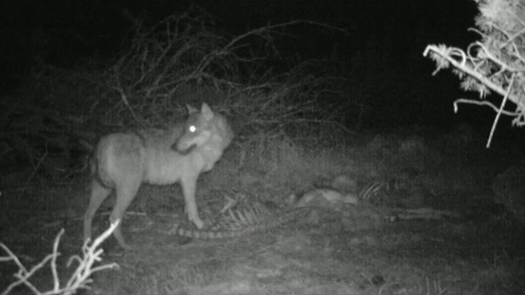Wolves in France: Farmers fear attacks