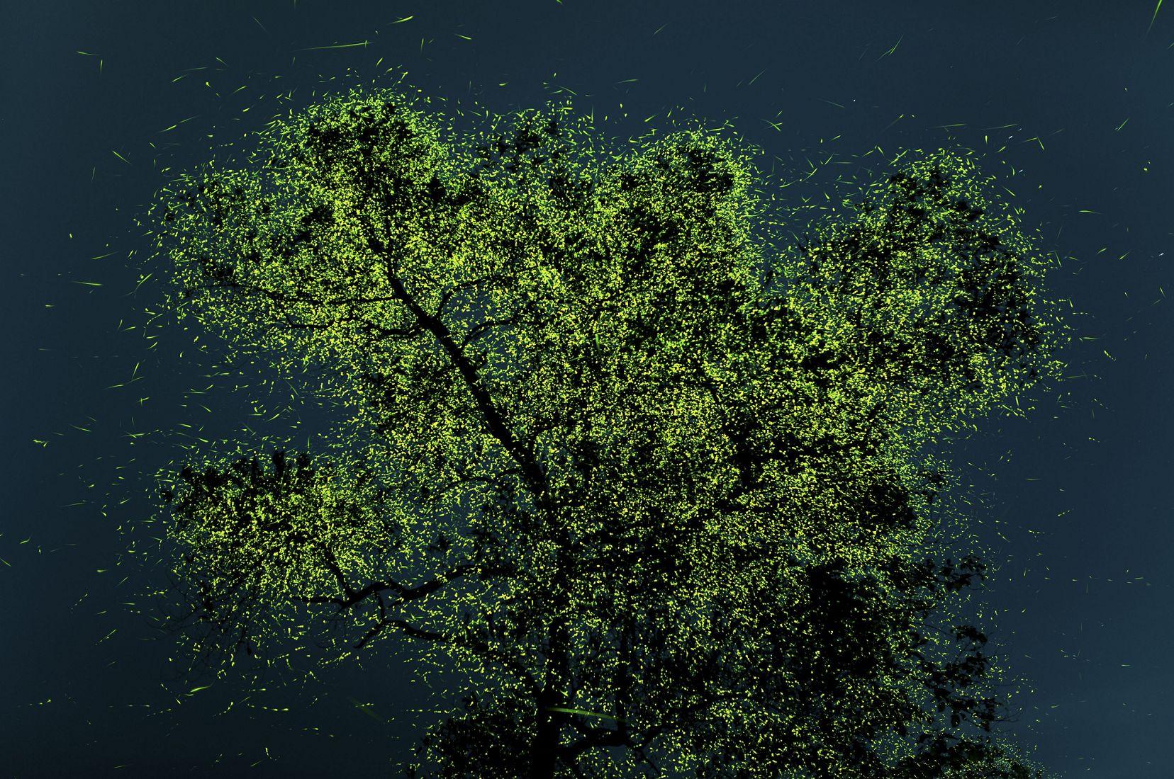Justo antes del monzón, estas luciérnagas se congregan en ciertas regiones de India y, en algunos árboles especiales como este, se encuentran en una cantidad increíble que puede llegar a ser de millones.