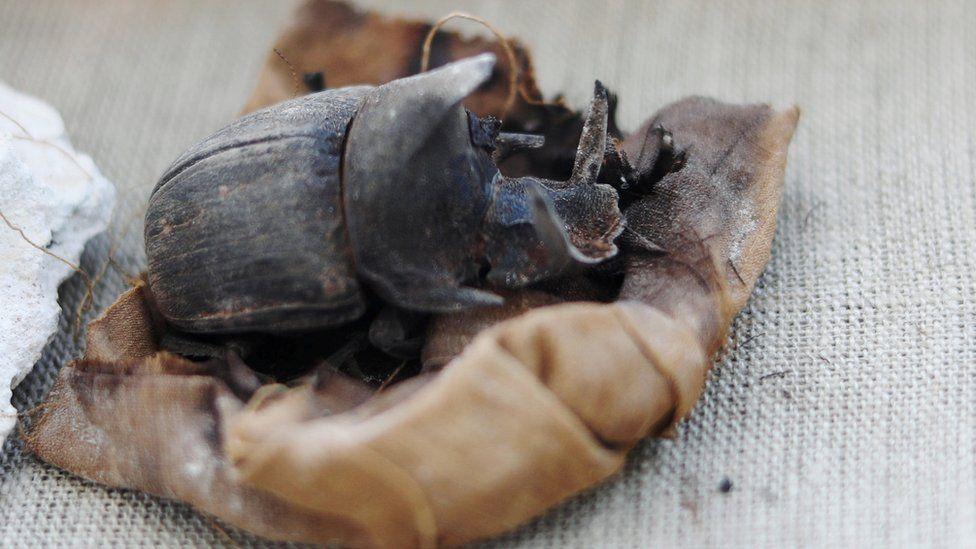 Escarabajos momificados.