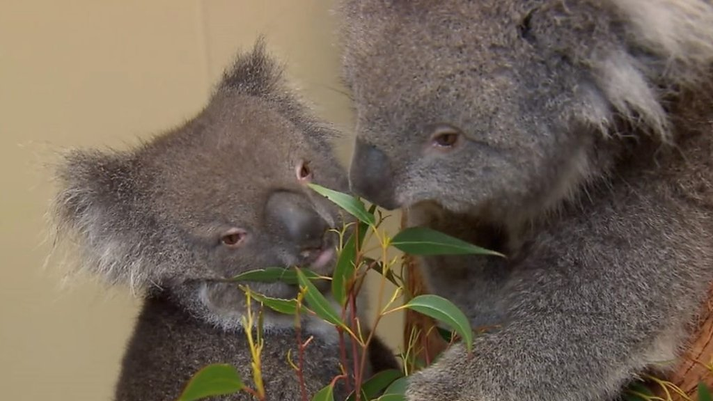 Longleat prepares for arrival vulnerable Southern Koalas