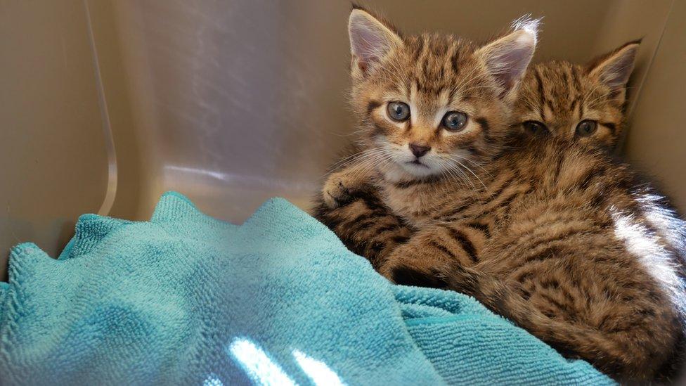 Scottish wildcat: 'Rarest kittens' in the world rescued
