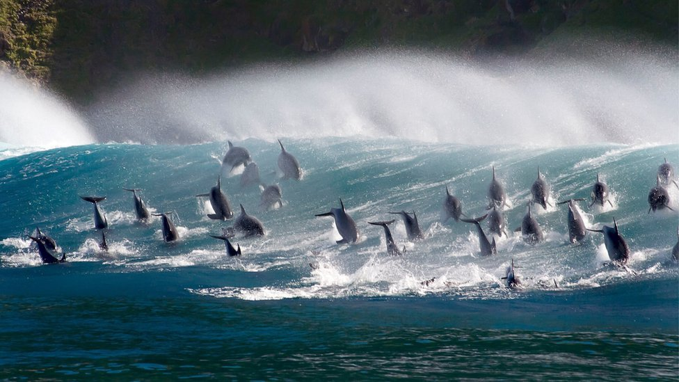 Surfing bottlenose dolphins, South Africa