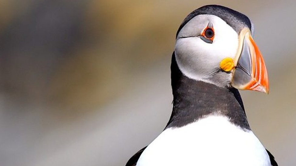 Does Wales hold the key for saving the puffin from extinction?