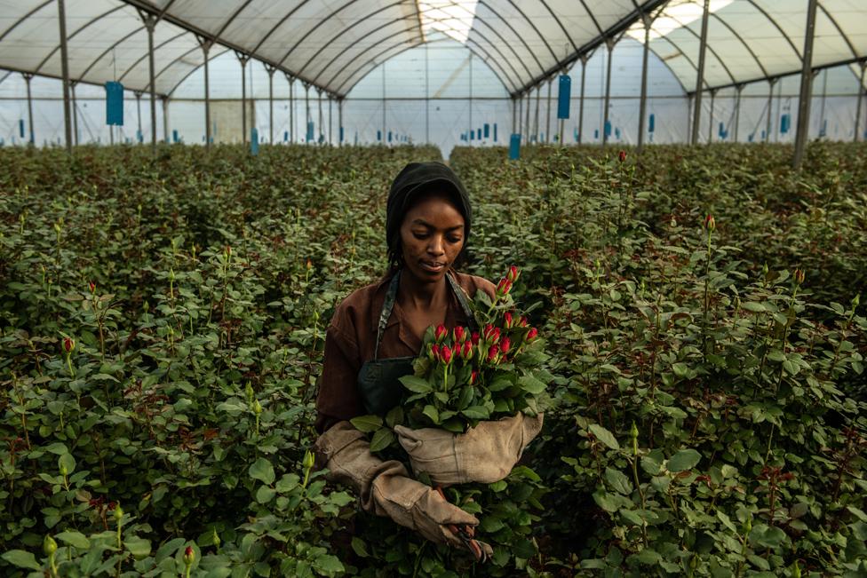 žena bere ruže u Keniji