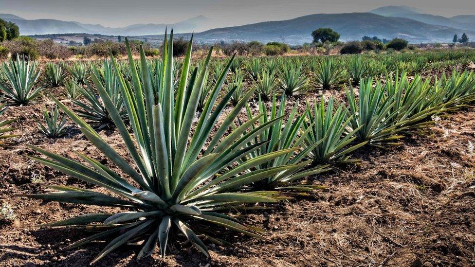 agave en Oaxaca