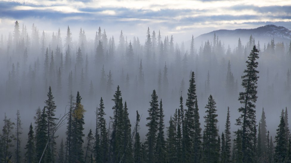Spruce trees emerging from mist