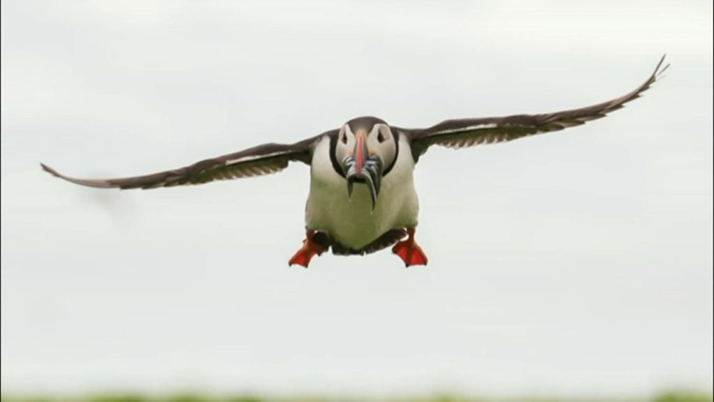 Charity hopes feeding photos will help puffins