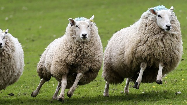 Sheep are rounded up during the sheep dog sales in Skipton, North Yorkshire