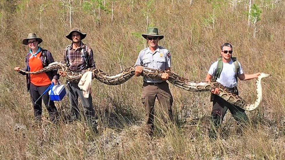yakalanan piton yılanı.