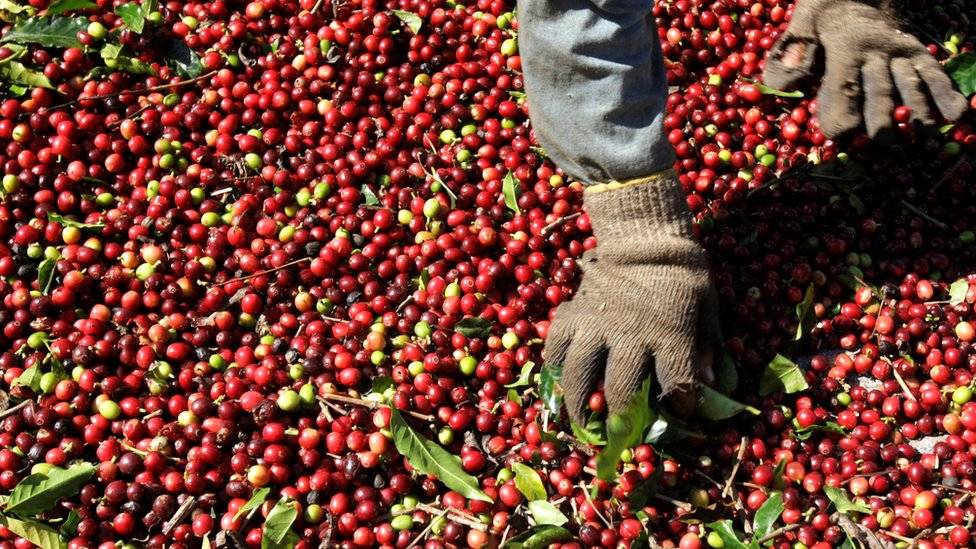 A worker selects Arabica coffee beans in Brazil