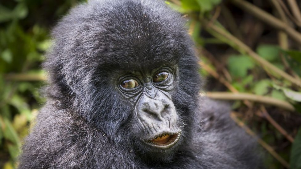An infant mountain gorilla