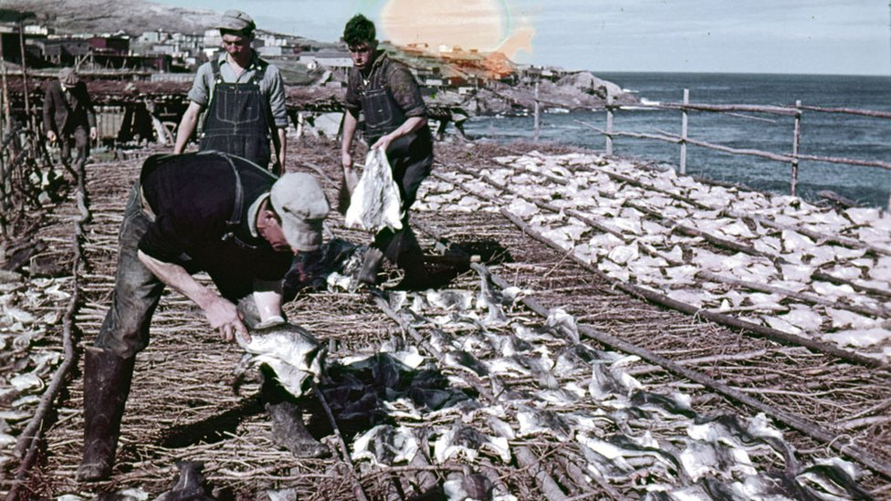 Cod being dried out in Pouch Cove, NL, in 1948
