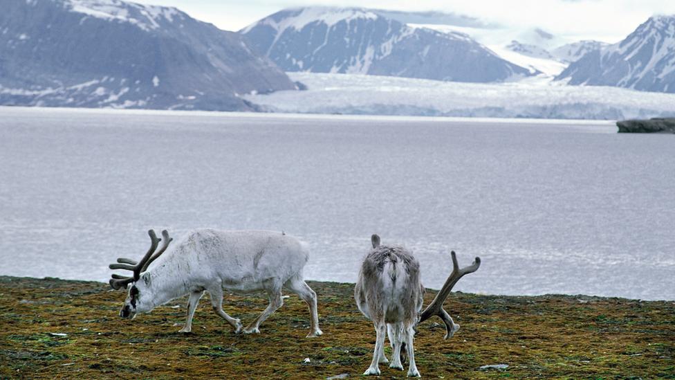 Irvasi sa ostrva Svalbard