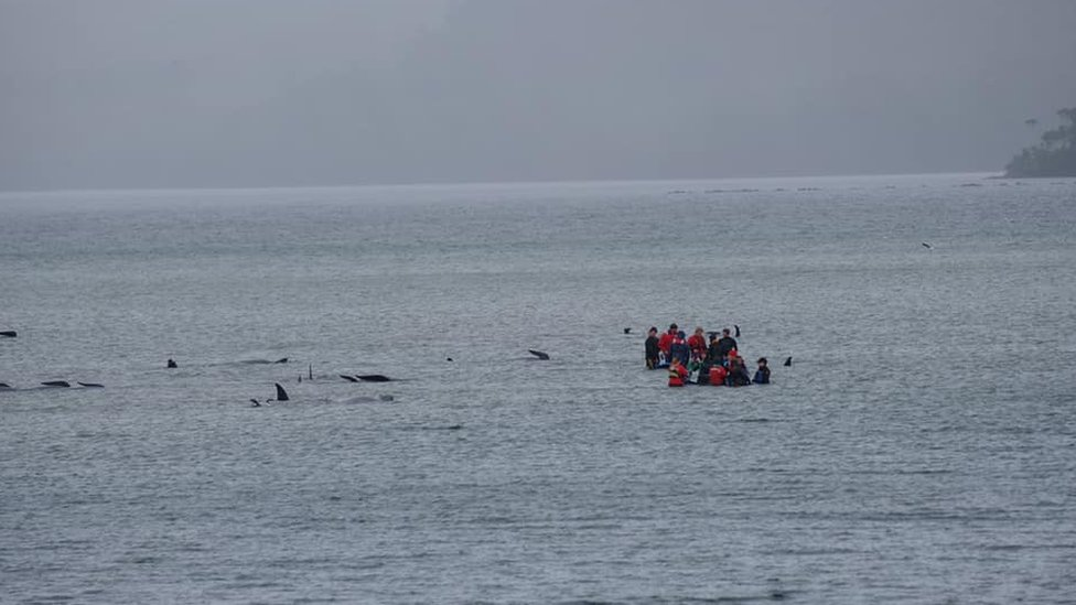 Crews assisting the stranded whales