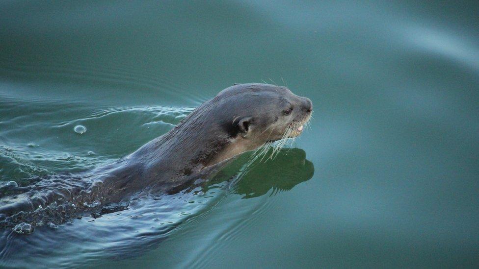 An otter glides through the water