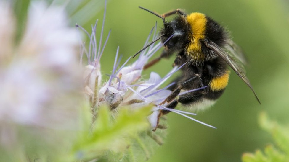 Bumbar skuplja polen sa cveta