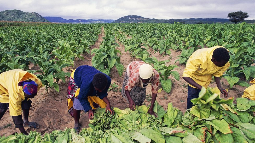 Tobacco pickers