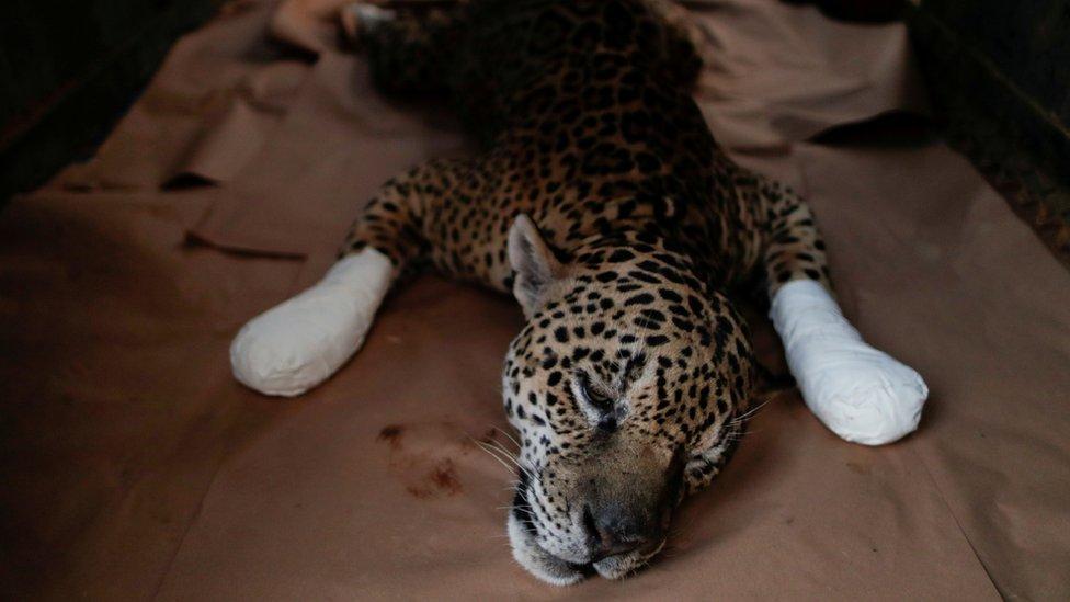 2020, amazon, kebakaran hutan, jaguar
