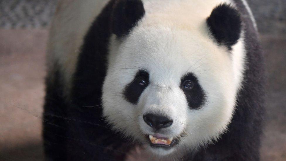 Mama panda Meng Meng