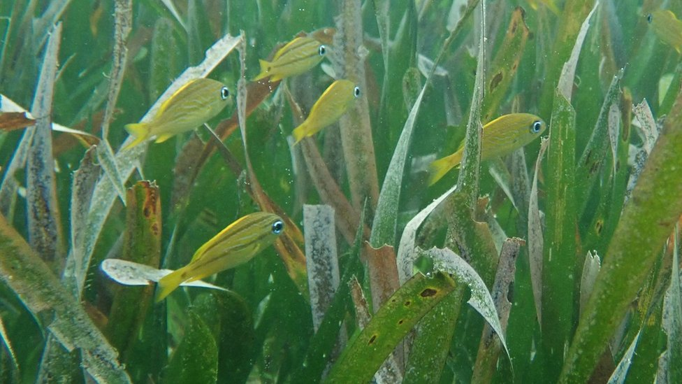 Seagrass meadow with fish